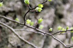 Frühlin